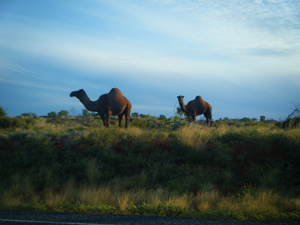 Where to see camels in Australia