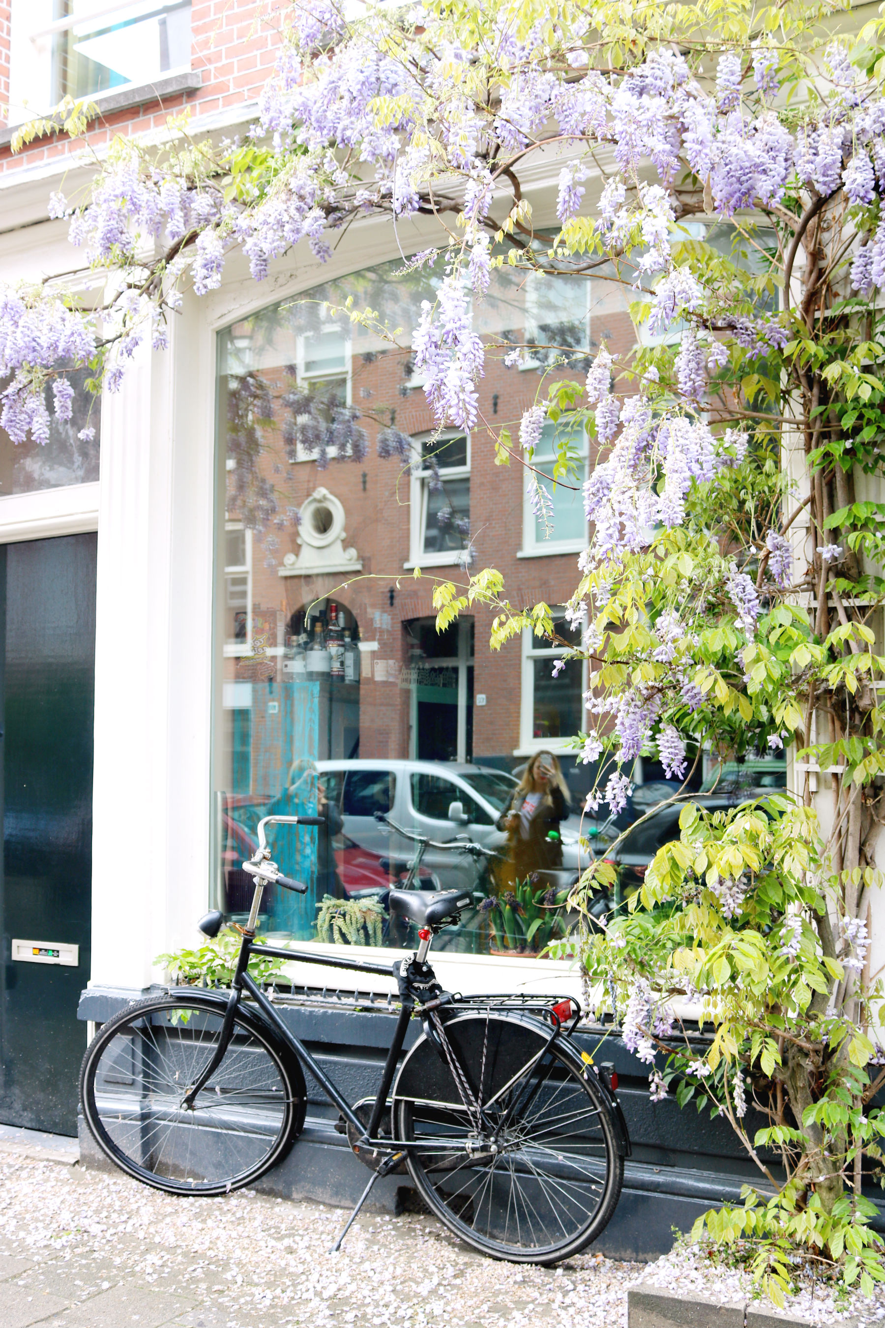 Wisteria hanging over a window in Amsterdam